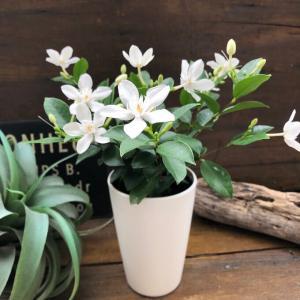 セイロンライティア 美しい純白の花 南国風の葉っぱ ガーデニング インテリア