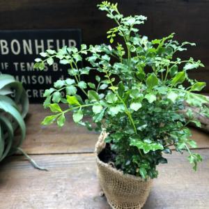 観葉植物 初心者向け シマトネリコ 艶やかな葉っぱ 観葉植物