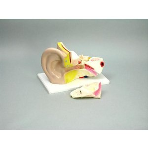 耳の構造模型(3倍)|suzumori