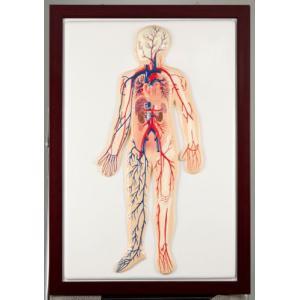 血液循環系模型|suzumori