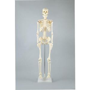 人体骨格模型 85cm|suzumori