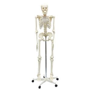 人体骨格模型 160cm|suzumori