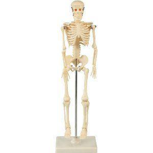 人体骨格模型 42cm|suzumori