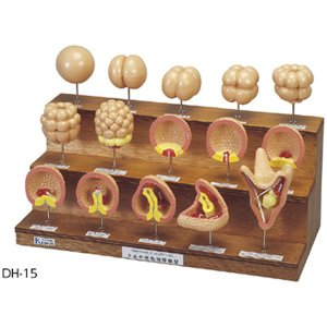 ウニの発生順序模型 DH-15(450×210×310mm)|suzumori