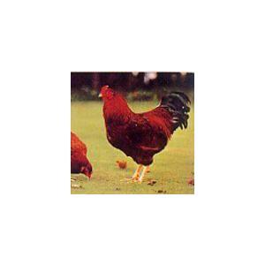 国産地鶏 比内地鶏 挽肉(正肉使用) 500g 秋田県産 鶏肉 冷蔵品 業務用|syokuniku