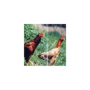 国産地鶏 奥久慈しゃも 正肉セット 約1kg〜1.2kg 国産 鶏肉 冷蔵品 業務用 syokuniku