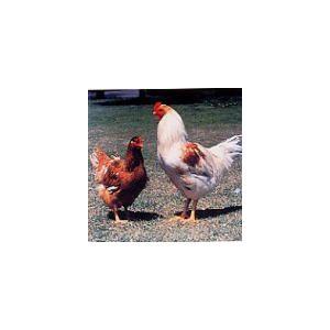 国産地鶏 阿波尾鶏 鶏むね肉 1kg 徳島県産 鶏肉 冷蔵品 業務用|syokuniku