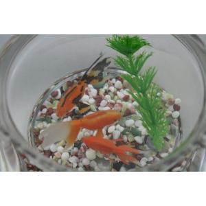 金魚鉢/金魚/可愛い金魚/癒し系/ガラス製金魚鉢(大) にエサのいらない金魚セット/贈り物/プレゼント/うつわの翔山|syozan