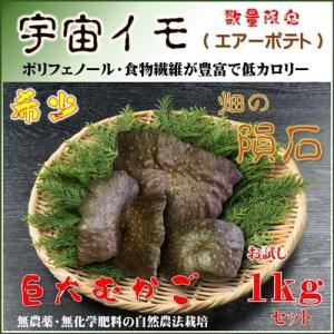 国産 自然栽培 宇宙イモ/厳選 形の良いエアーポテトお試し1kgセット/そらいも/ヤマノイモ/むかご/たこ焼きの具・お好み焼きの具|t-herb