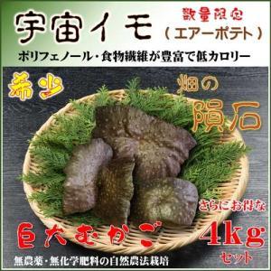 国産 自然栽培宇宙イモ/厳選 形の良いエアーポテト4kgセット/ヤマノイモ/むかご/たこ焼き・お好み焼きの具|t-herb