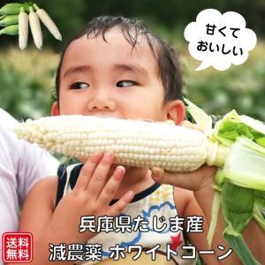 【送料無料】5本入り 甘くて白いトウモロコシ(ホワイトコーン) 生で食べられる減農薬栽培 農園直送 兵庫県但馬産|tajimart