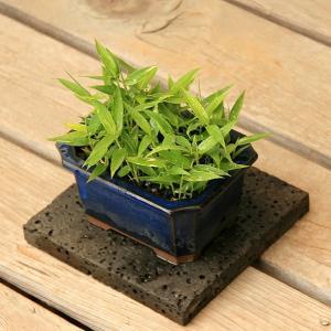 緑が鮮やかで小さい葉がたくさん茂る オロシマチク(於呂島竹)4号盆栽3