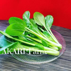 農薬一切不使用 そのまま食べても大丈夫な小松菜8袋入り 火曜日発送|tanba-akari-farm