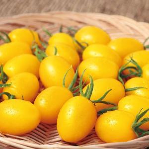 サカタのタネ トマト イエローアイコ 小袋  甘くてフルーツのような食感のプラム形ミニトマト
