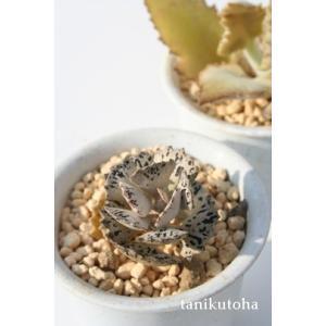 ■姫宮  【 商品詳細 】  ■サイズ  5.5cmポット  ■お届け  ポット苗でのお届けです  ...