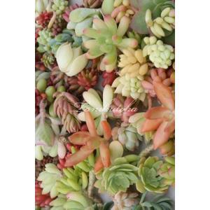 ≪送料無料対象外商品≫  ■Sサイズ20種類カット苗セット  *カットする茎は短いので挿し穂のアレン...