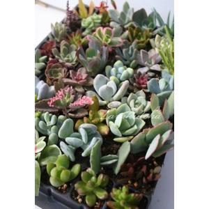 ≪送料無料対象外商品≫  ■Sサイズ20種類苗セット  ●寄せ植えに大活躍! ●ウエルカムリースやク...