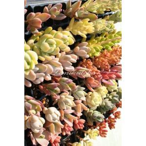 ≪送料無料対象外商品≫  ■Sサイズ40種類苗セット  ●寄せ植えに大活躍! ●ウエルカムリースやク...