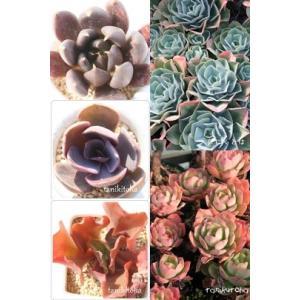 ≪送料無料対象外商品≫  ■エケベリア【5種セット】  ●ロゼットの美しい品種。小型種から大型種まで...