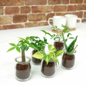 ミルクびんの様なガラスの器に植えたハイドロカルチャーの植物です。 植物は、当社指定の5品種より、お好...