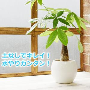 パキラ 水やり簡単! ハイドロカルチャー 水位計つき ピュアボウルLL陶器鉢セット