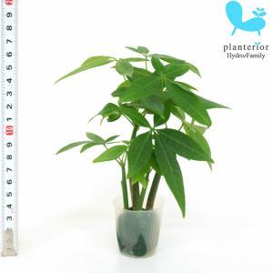 観葉植物 ハイドロカルチャー 苗 パキラの森 プチサイズ 1寸