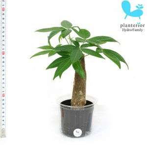 観葉植物 ハイドロカルチャー 苗 パキラ Lサイズ 9パイ 3寸