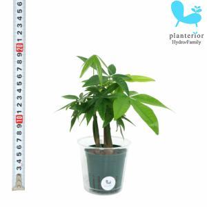 観葉植物 ハイドロカルチャー 苗 パキラの森 Mサイズ 6パイ 2寸