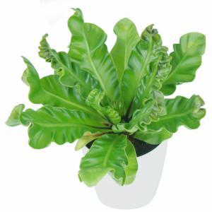 アスプレニウム ラスタ 4寸 レア ビザール 観葉植物 土植え