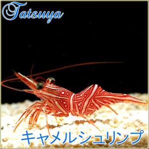 キャメルシュリンプ tatsuya-fish