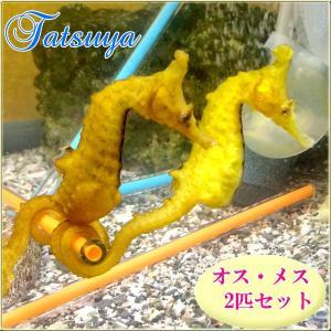 オス・メスSET タツノオトシゴ ワイルド種|tatsuya-fish