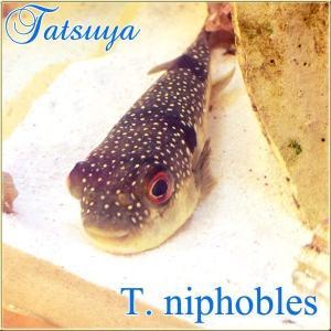 クサフグ Mサイズ tatsuya-fish