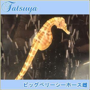 ビッグベリーシーホース メス1匹 ワイルド種|tatsuya-fish