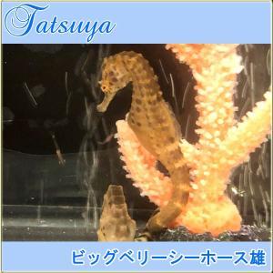ビッグベリーシーホース オス1匹 ワイルド種|tatsuya-fish