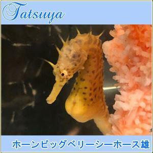 ホーンビッグベリーシーホース オス1匹 ワイルド種|tatsuya-fish