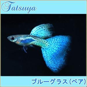 国産ブリードのグッピーです。 ブルーグラスグッピーは古くから人気のあるポピュラーな熱帯魚です。水草レ...