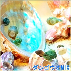ダンゴウオ 3匹 カラーMIX|tatsuya-fish