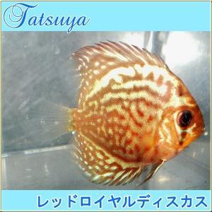 レッドロイヤルディスカス SMサイズ 3匹  ディスカス|tatsuya-fish