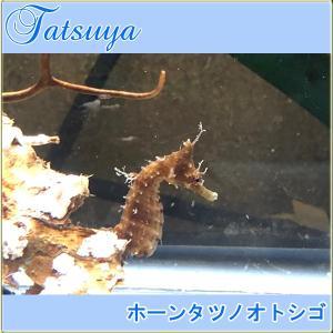 ホーンタツノオトシゴ Sサイズ ワイルド種|tatsuya-fish