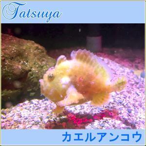 カエルアンコウ 1匹  5cm〜7cm tatsuya-fish