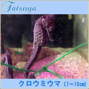 クロウミウマ(7〜10cm)-タツノオトシゴ- ワイルド種  メス1匹|tatsuya-fish