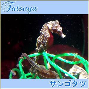 サンゴタツ メス 1匹 ワイルド種 タツノオトシゴ|tatsuya-fish