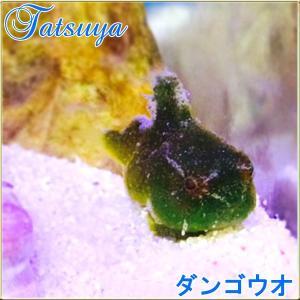 ダンゴウオ グリーン系販売   通販   [林修の今でしょ!講座」出演放送!|tatsuya-fish