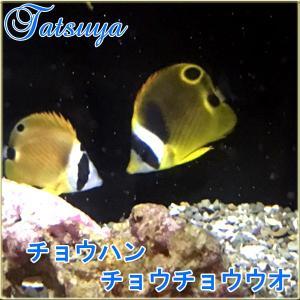 チョウハン1匹 Sサイズ 国産 チョウチョウウオ tatsuya-fish