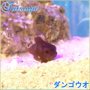 ダンゴウオ1匹 レッド系販売   [林修の今でしょ!講座」出演放送!|tatsuya-fish