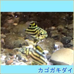 カゴカキダイ3匹 Sサイズ 国産 tatsuya-fish