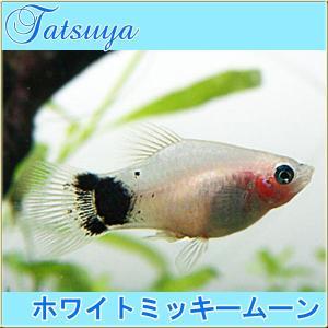 ホワイトミッキームーン プラティ 10匹 プラティ|tatsuya-fish