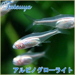 アルビノグローライトテトラ 10匹 カラシン系テトラ|tatsuya-fish