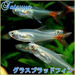 グラスブラッドフィン・テトラ 10匹 カラシン系テトラ|tatsuya-fish