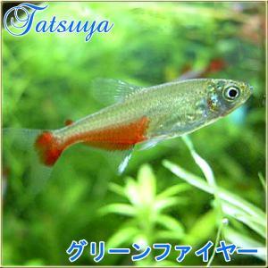 グリーンファイヤーテトラ  10匹 カラシン系テトラ|tatsuya-fish